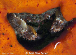 Crab inside, its sponge hide out, evaluating its next mea... by Peet Van Eeden 